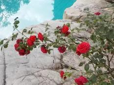 rose di vertine (16)