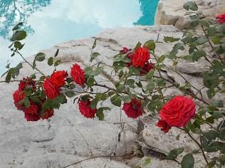 rose di vertine (17)