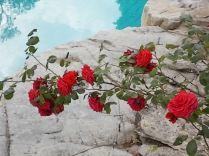 rose di vertine (18)