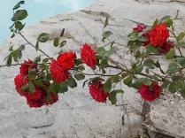 rose di vertine (19)