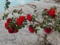 rose di vertine (20)