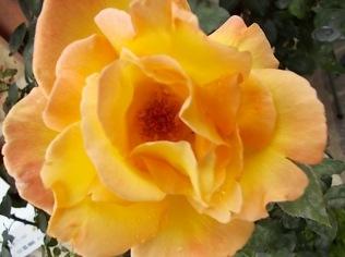 rose di vertine (3)