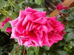 rose di vertine (7)