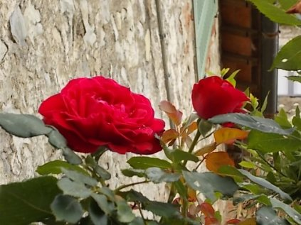 rose di vertine (8)