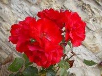 rose di vertine (9)