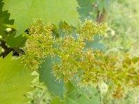 sangiovese in fiore (1)