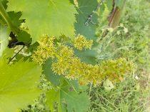 sangiovese in fiore (2)