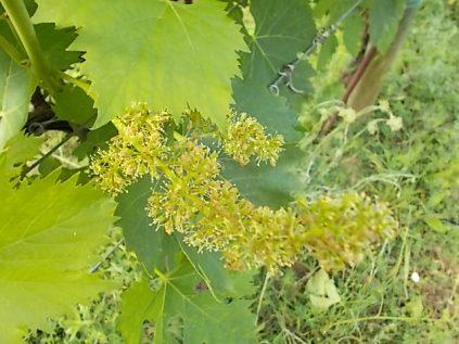 sangiovese in fiore (3)