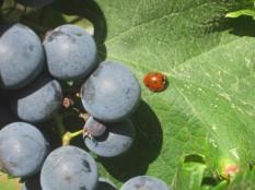 uva-e-coccinella-piccina-2