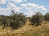 erba secca e alta berardenga (1)