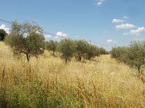 erba secca e alta berardenga (10)