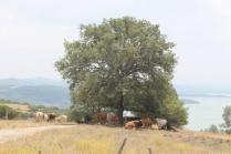 mucche del trasimeno (1)