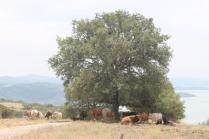 mucche del trasimeno (2)