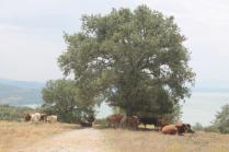 mucche del trasimeno (3)