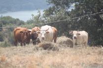 mucche del trasimeno (4)