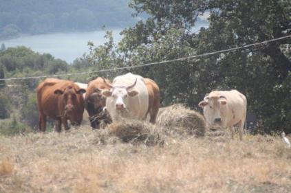 mucche del trasimeno (5)