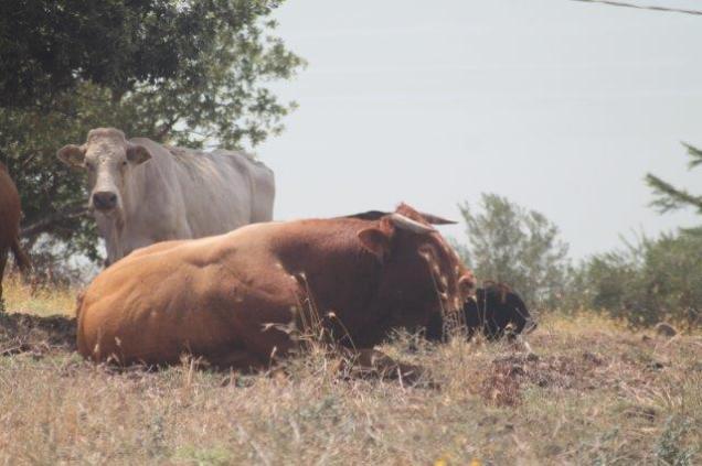 mucche del trasimeno (6)