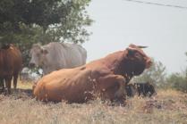 mucche del trasimeno (7)