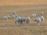 pecore-crete-senesi-7