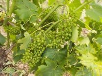 vertine e l'uva sette bellezze (1)