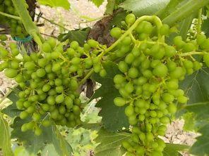 vertine e l'uva sette bellezze (3)