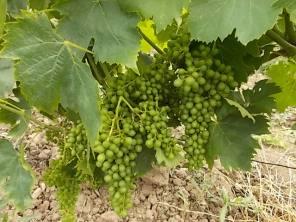 vertine e l'uva sette bellezze (4)