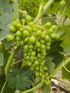 vertine e l'uva sette bellezze (6)