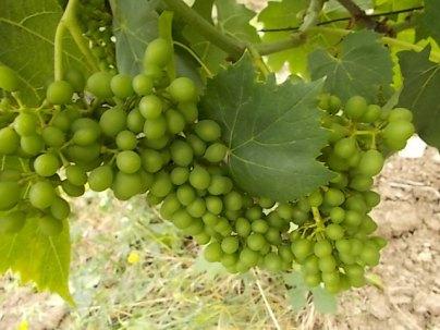 vertine e l'uva sette bellezze (7)