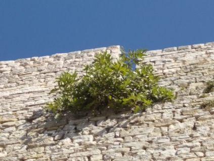 vertine fico sulla torre (2)