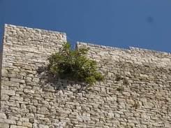 vertine fico sulla torre (3)