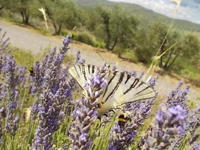 vertine lavanda da distillazione oliveta della cappella e farfalla gigante (10)