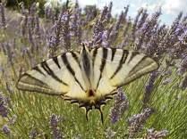 vertine lavanda da distillazione oliveta della cappella e farfalla gigante (18)
