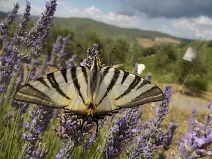 vertine lavanda da distillazione oliveta della cappella e farfalla gigante (9)