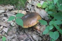 funghi del monte amiata (1)
