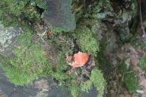 funghi del monte amiata (14)