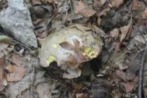 funghi del monte amiata (19)