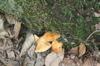 funghi del monte amiata (20)