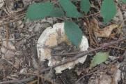 funghi del monte amiata (28)