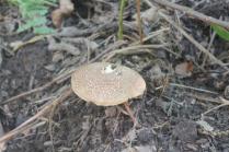 funghi del monte amiata (3)