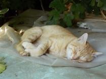 gatto rosso di vertine (1)