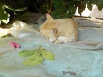 gatto rosso di vertine (2)