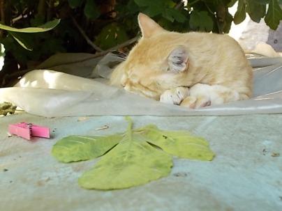 gatto rosso di vertine (3)