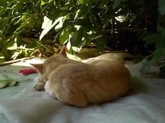 gatto rosso di vertine (4)