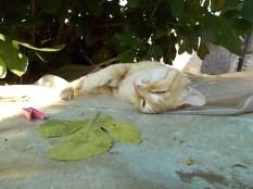 gatto rosso di vertine (5)