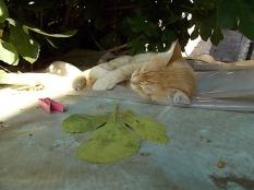 gatto rosso di vertine (6)