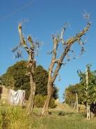 olivi recuperati berardenga (2)