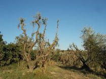 olivi recuperati berardenga (3)