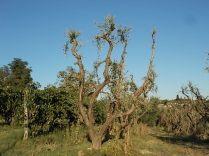 olivi recuperati berardenga (4)