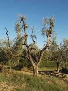 olivi recuperati berardenga (5)