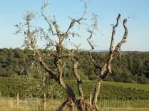 olivi recuperati berardenga (7)